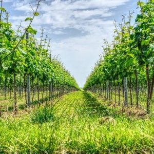 Au Clos de la Chaume campsite: Alsatian vineyard